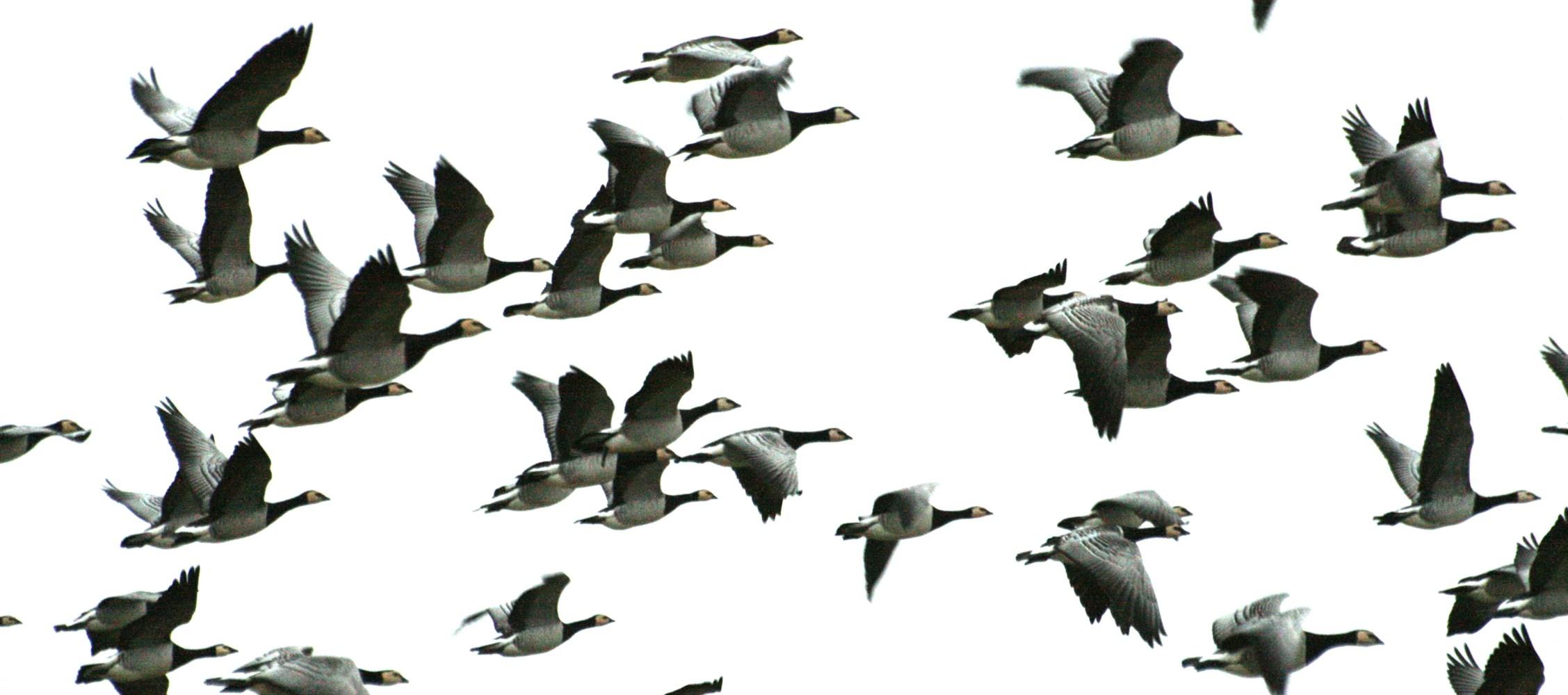 Fugleinfluenzaen fortsætter - Danmarks Jægerforbund