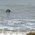 Grey_seal_off_beach_north_of_Winterton_-_geograph.org.uk_-_966876.jpg