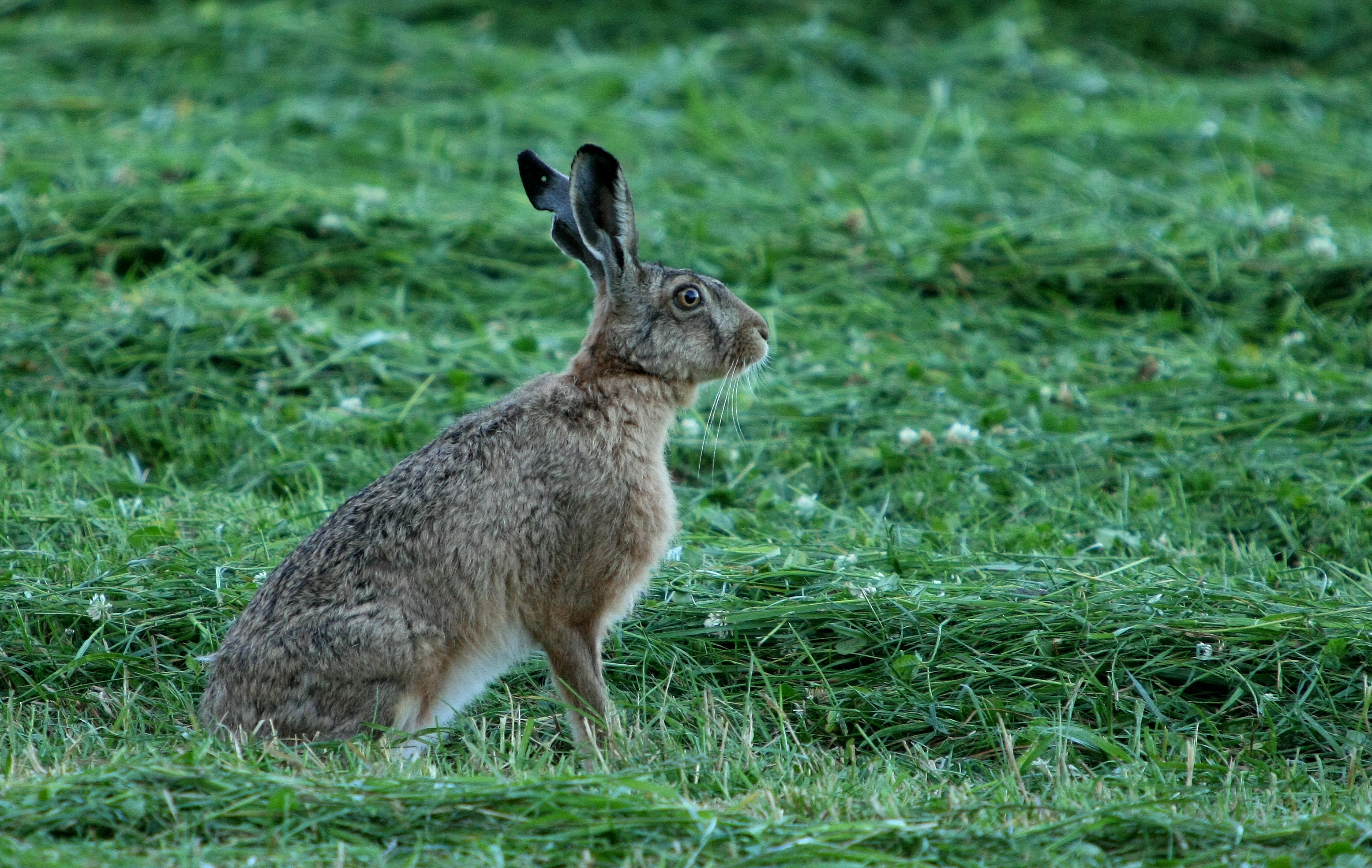 fakta om hare